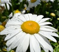 Daisy with Water Drops