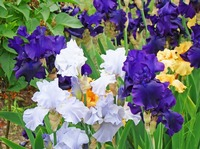 Irises Flower Garden Purple Blue Orange Art prints