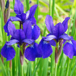 """Purple Irises Flower Garden art prints"" by BasleeTroutman"