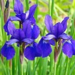 """Purple Irises Flower Garden art prints"" by BasleeTroutman"