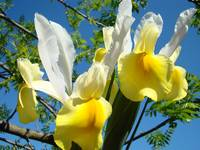 Blue Sky Floral art Yellow White Iris Flowers