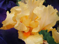 Iris Flower Botanical Garden Peach Irises