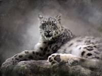 Resting Snow Leopard