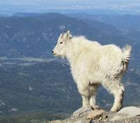 Young Mountain Goat, Mt.Evans, Colorado.