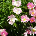 """Several Pink and White Flowers"" by PhotographLover"