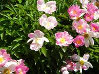 Several Pink and White Flowers