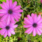 """White Striped Purple Flowers"" by PhotographLover"