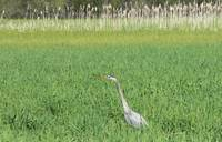 Blue heron in the tall grass
