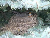 Robin in a blue spruce