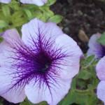 """""""Purple Flower"""" by raquellegittens"""