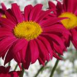 """Red Daisy"" by JaneKPhoto"