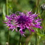"""Greater Knapweed"" by terrycatton"