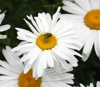 White Daisy Fly