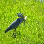 """Great Blue Heron - Ardea Herodias"" by artsandi"