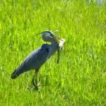 """Great Blue Heron - Ardea Herodias"" by artsandi"