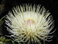 Botanical - White Top Thistle - Outdoors Floral