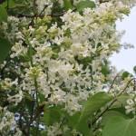"""""""Lilac"""" by shepweb"""