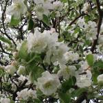 """Apple Blossoms"" by shepweb"