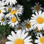 """""""Daisy"""" by shepweb"""