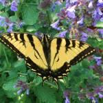 """Butterfly"" by shepweb"