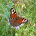 """Butterfly2"" by shepweb"