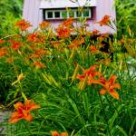 """The Red Studio & the Orange Day Lilies"" by SlowLittlePhoto"