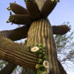 """Saguaro Cactus Flowers"" by FrankZullo"
