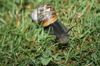 Snail eating grass close up