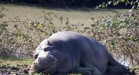 Hippo napping
