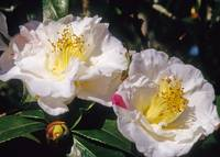 Camellia Dutchess of Sutherland Flower