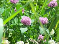 Mixed Clover
