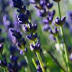 """""""Lavender Cought in the Breeze"""" by William63"""