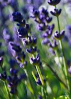 Lavender Cought in the Breeze