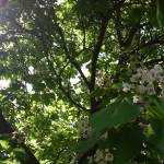 """Look Through a Catalpa Tree"" by HarmonicNature"