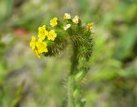 Botanical - Fiddleneck - Outdoors Floral