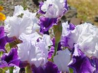 Irises Flowers Purple Lavender Iris Flower Garden