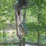 """Squirrel on bird feeder"" by crittersbychris"