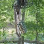 """""""Squirrel on bird feeder"""" by crittersbychris"""