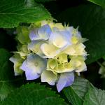"""Hydrangeas"" by RobertJohnson"