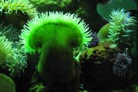 Sea Anenomes Galore