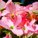 """Bright Colorful Pink Dogwood Flowers art"" by BasleeTroutman"