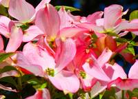 Bright Colorful Pink Dogwood Flowers art