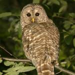 """Barred Owl"" by tagauthier"