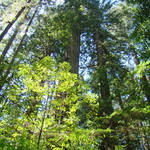 """California Redwood Trees Forest art prints"" by BasleeTroutman"