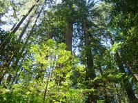 California Redwood Trees Forest art prints