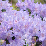 """Summer Floral Garden Lavender Rhodies Flowers"" by BasleeTroutman"