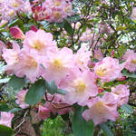 """Rhododendron Park Flower Garden art prints"" by BasleeTroutman"