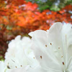 """White Rhododedrons Flowers art Rhodies"" by BasleeTroutman"