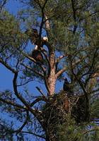 Bald Eagles at Nest
