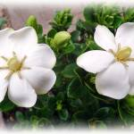 """""""Gardenia"""" by susanboogie"""